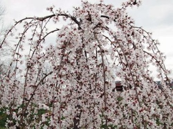 prunus-snow-fountain-weeping-cherr